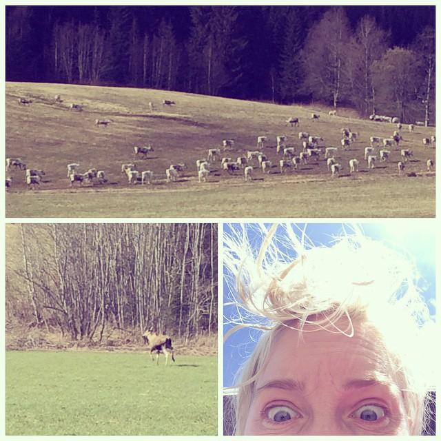 Løpetur i Meråker: elg, rein og meg.